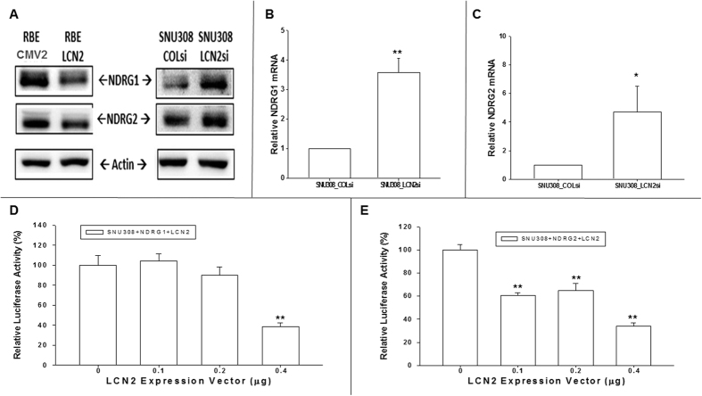 Evaluation LCN2 effect on NDRG1 and NDRG2 expressions in CCA cells. ( A ) The western blot to show the downregulation or upregulation of NDRG1 and NDRG2 as LCN2 overexpression in RBE cells or knockdown in SNU308 cells. ( B ) Relative NDRG1 mRNA expression of SNU308-LCN2si cells to SNU308-COLsi cells. Each value was a mean ± SD of three independent determinations. Experiment was done at least three times (**P