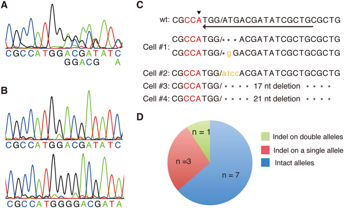 CRISPR/Cas9-mediated indel mutations in EGFP-negative/TagRFP-positive neurons. ( A ) The PCR amplified DNA fragments containing the β-actin-sgRNA target site from each single neuron were analyzed by DNA sequencing. Example of sequence chromatogram is shown. In this PCR product, moderate multiple peaks appeared from middle of the sequence. ( B ) PCR product in ( A ) was cloned into plasmid and sequenced. PCR product in ( A ) carried two different indel alleles. ( C ) Indel mutations in EGFP-negative/TagRFP positive neurons. Intact wild type sequence is shown on the top. Arrowhead and arrow indicate the first ATG codon of β-actin gene and the direction of sgRNA target sequence, respectively. Slashes represent predicted cleavage site. Cell#1 carried indel mutations in both alleles (see A,B ). Cell#2-4 carried indel mutations in a single allele. ( D ) Frequency of indel mutations detected in the eleven EGFP-negative/TagRFP-positive neurons.