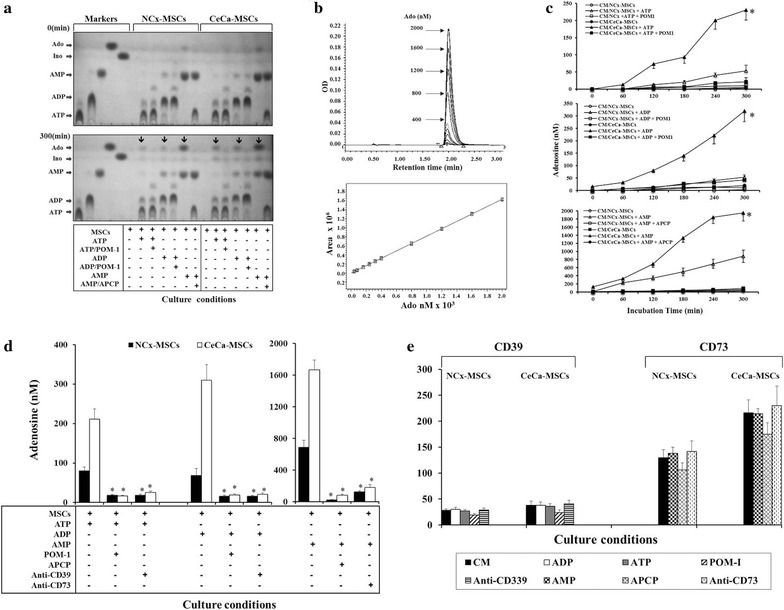 Hydrolytic activity of CD39 and CD73 ectonucleotidases expressed in MSCs. A total of 1 × 10 5 CEMs derived from NCx-MSCs (n = 5) and CeCa-MSCs (n = 5) were cultured at 37 °C with 5 mM adenine nucleotides (ATP, ADP or AMP) in the presence or absence of POM-1 (specific CD39 inhibitor) or APCP (specific CD73 inhibitor). a Adenosine produced by the hydrolysis of nucleotides was analyzed by thin layer chromatography (TLC). The ATP, ADP and AMP hydrolysis products (marked with arrows ) at the end of MSC culture with different nucleotides are shown. ATP, ADP, AMP, inosine (Ino) and synthetic adenosine were used as markers. b Adenosine contained in supernatant samples was quantified every 60 min by ultra-performance liquid chromatography (UPLC), using standard concentrations of synthetic Ado ( upper ). A representative linear range between concentration and histogram integral area for Ado is shown ( lower ). c The concentration of Ado produced by the hydrolysis of ATP ( upper ), ADP ( middle ) and AMP ( lower ) during the period of MSC culture with the respective nucleotides is shown. Asterisk indicates significant (P