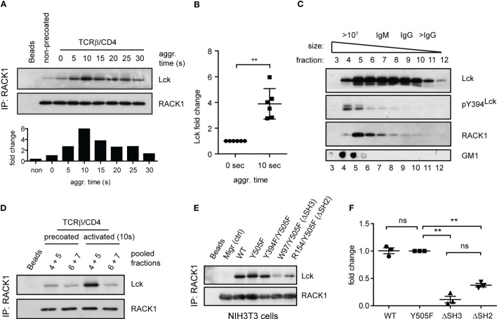 Antibody-mediated engagement of TCR/CD4 receptors induces RACK1–Lck complex formation in primary CD4 + T-cells . (A) CD4 + T-cells precoated or non-precoated with biotinylated anti-TCR and anti-CD4 mAbs (TCRβ/CD4) were co-aggregated, or not (0 s), with streptavidin for the indicated time. RACK1 immunoprecipitates were blotted against Lck and RACK1. The bar graph at bottom shows the relative amount of co-immunoprecipitated Lck after normalization to RACK1. (B) The graph plot presents the relative fold increase of co-immunoprecipitated Lck (10 s after activation) from six independent experiments. The statistical analysis presented as mean ± SD was performed using the Student's two-tailed t -test, ** p