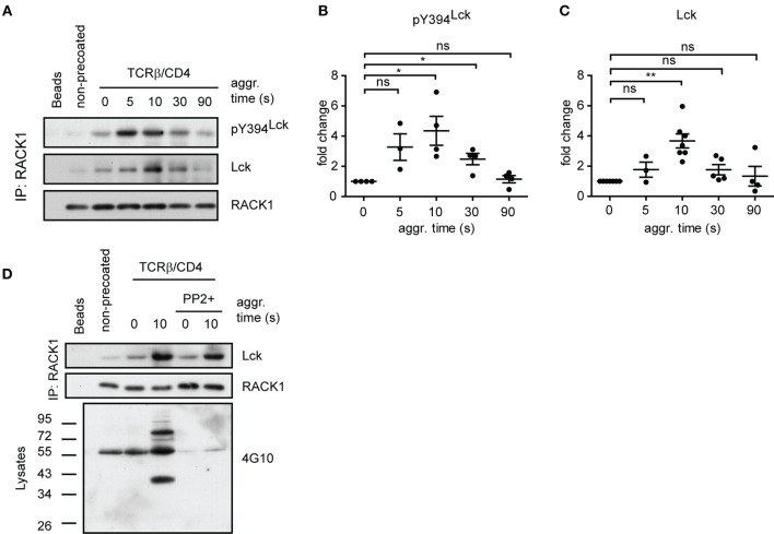 <t>RACK1–Lck</t> complexes can form irrespective of Lck kinase activity, but those from activated T-cells contain a sizeable fraction of pY394 Lck . (A) CD4 + T-cells precoated or non-precoated with biotinylated anti-TCR and anti-CD4 mAbs (TCRβ/CD4) were co-aggregated, or not (0 s), with streptavidin for the indicated period of time. RACK1 immunoprecipitates were blotted against pY394 Lck , total Lck, and RACK1. (B,C) Statistical analysis of pY394Lck and total Lck blots from (A) , respectively, represent the normalized to total RACK1 from at least three independent experiments. The statistical analysis presented as mean ± SD was performed using the Student's two-tailed t -test, * p