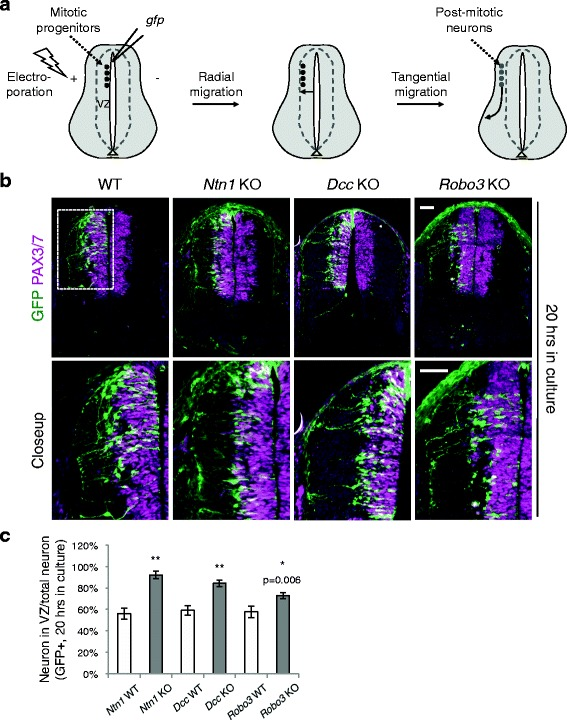 Neuroprogenitor migration in Ntn1 , Dcc , and Robo3 knockouts. a Schematic of the migration of the dorsal spinal cord progenitors and interneurons. VZ, ventricular zone. b Cross sections of the spinal cord electroporated with Actb-gfp ( βactin-gfp) . The closeup images are of the boxed area. The embryos were cultured for 20 h. GFP+ neurons from all three KOs migrate out of the VZ (demarcated by <t>PAX3/7</t> staining) later than WT neurons. c Quantification of the ratio between GFP+ neurons within the VZ and the total GFP+ neurons. A higher percentage of neurons is seen within the VZ in all three KOs. Data are represented as the mean ± SEM (Student's t -test; **, p