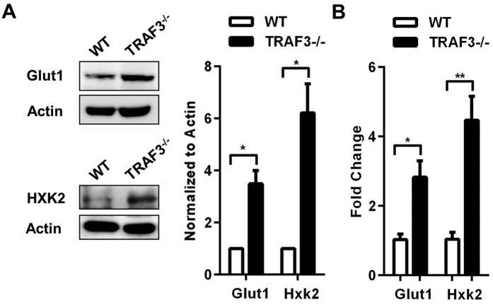 Induction of Glut1 and <t>HXK2</t> in B cells in the absence of TRAF3. ( A,B ) B cells were isolated from littermate WT and B- Traf3 −/− mice. ( A ) Whole cell lysates were analyzed with Western blotting (WB) for Glut1 and HXK2 expression. Band intensities were quantified and normalized to actin. Graphs depict mean values ± SEM from three independent experiments. Full-length blots are presented in Supplementary Fig. S4 . ( B ) Glut1 and Hxk2 mRNA levels were assayed with RT-PCR and analyzed as described in Materials and Methods. Data were normalized to GAPDH and fold change was determined using the comparative Ct method. N = 3 mice with mean values ± SEM shown. Student's t test was used to evaluate differences for statistical significance in A and B (*p
