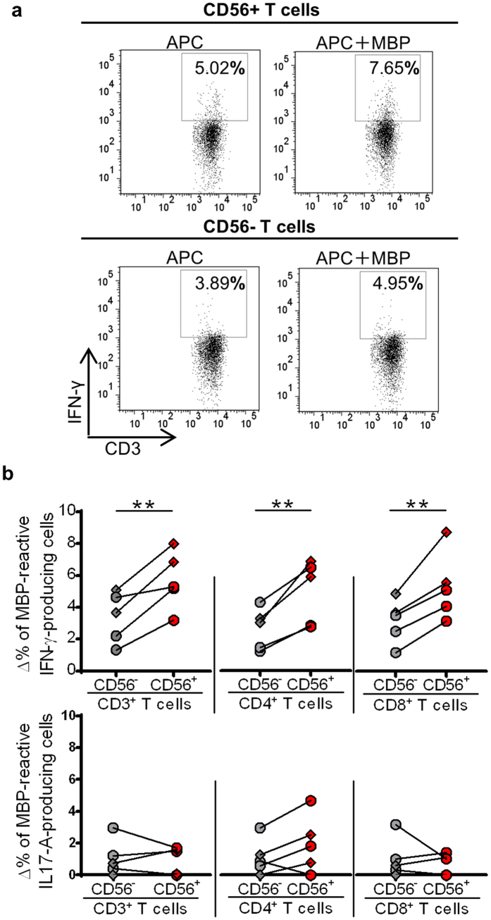 Myelin basic protein (MBP)-reactive proinflammatory cytokine production by CD56 + T cells from multiple sclerosis (MS) patients on fingolimod in remission. CD56 + and CD56 − T cells were co-cultured with antigen-presenting cells (APC) in the presence or absence of MBP peptide mixture, and intracellular cytokines were analyzed by flow cytometry. ( a ) Representative FACS dot plots of IFN-γ-producing cells in CD56 + and CD56 − T cells when the cells were co-cultured with APC in the presence or absence of MBP. ( b ) The delta frequency of cells that produced IFN-γ (upper row) and IL-17A (bottom row) within CD56 + and CD56 − T cells. The delta frequency was calculated by subtracting the frequency of cytokine-producing cells in the absence of MBP from that in the presence of MBP. Diamonds are data from relapse-experienced MS patients with fingolimod therapy in remission, and circles represent relapse-free MS patients while on fingolimod treatment. Bars represent median values. p-values: **p