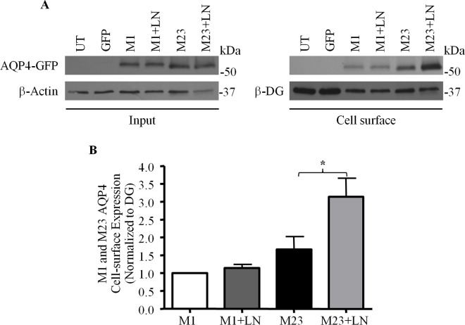 Laminin affects the cell-surface expression of only the M23 isoform of AQP4. (A) Laminin-treated (+LN) and untreated control CHO cells expressing GFP-tagged M1 and M23 isoforms of AQP4 were subjected to biotinylation analysis, and the input and biotinylated (Cell surface) fractions were isolated and probed for the proteins indicated. (B) Histogram summarizes the results obtained over 4 such experiments. The asterisk indicates a statistically-significant difference, as determined via the Students t -test (*p = 0.0408).