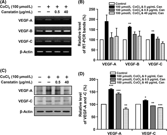 Effects of recombinant canstatin on the expression of vascular endothelial growth factor ( VEGF ) family proteins in CoCl 2 ‐treated squamous cell carcinoma ( SCC )‐ VII cells. (A) SCC ‐ VII cells were treated with different concentrations of recombinant canstatin (0, 0.5, 40 μ g/mL) in the presence of 100 μ mol/L CoCl 2 , and incubated for 24 h. cDNA s were generated from DN ase I‐treated total RNA , and PCR was performed with specific primers for vascular endothelial growth factor ( VEGF )‐A, ‐B, ‐C, and β ‐actin. (B) The PCR products from three independent experiments in (A) were quantified and are represented as a bar diagram. The transcript levels of VEGF ‐A, ‐B, and ‐C mRNA in the control (recombinant canstatin‐ and CoCl 2 ‐untreated cells) were established as 100%. (C) Protein levels of VEGF ‐A and ‐C in the intracellular fraction were determined using western blot analysis with anti‐ VEGF ‐A and anti‐ VEGF ‐C antibodies. (D) The amounts of VEGF ‐A and ‐C obtained in three independent experiments of (C) were quantified and are represented as a bar diagram. The levels of VEGF ‐A and ‐C in the control were established as 100%. Data are presented as mean ± SD of three independent experiments (* P