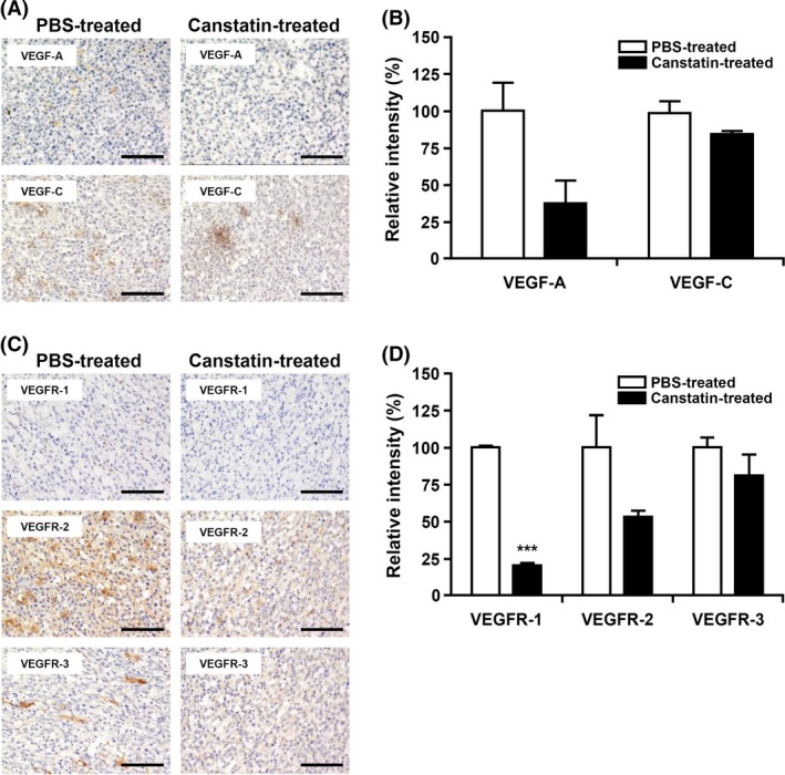 Effects of recombinant canstatin on the expression of vascular endothelial growth factor ( VEGF )‐A, VEGF ‐C, vascular endothelial growth factor receptors ( VEGFR )‐1, VEGFR ‐2, and VEGFR ‐3 in squamous cell carcinoma ( SCC )‐ VII ‐induced tumors. (A, C) The presence of VEGF ‐A, VEGF ‐C (A), VEGFR ‐1, VEGFR ‐2, and VEGFR ‐3 (C) in the sections of PBS ‐treated or 5 mg/kg/day recombinant canstatin‐treated SCC ‐ VII ‐induced tumors was determined using immunohistochemical analysis. All tumor sections were digitized and images were captured under a 400× objective magnification. Scale bar = 100 μ m. (B, D) Immunohistochemical intensities of VEGF ‐A, VEGF ‐C (B), VEGFR ‐1, VEGFR ‐2, and VEGFR ‐3 (D) from captured images were analyzed using the Image J program and are represented as bar diagrams. The intensities of the VEGF ‐A, VEGF ‐C, VEGFR ‐1, VEGFR ‐2, and VEGFR ‐3 staining of the PBS ‐treated control were established as 100%. Data are presented as mean ± SD of three independent experiments (*** P