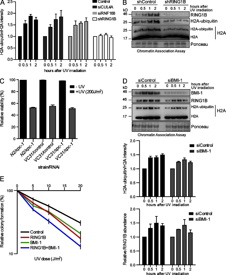 Dissection of E3 ligase functions in UV-mediated DNA damage repair. (A) Quantitative analysis of H2A-ubiquitylation levels. Immunoblots (as in B and Fig. S1, A and B ) were probed with histone H2A antibody. The intensities of H2A and H2A-ubiquitin bands were quantified by the ImageJ software. The graphs illustrate the relative H2A ubiquitylation calculated as (H2A ubiquitin)/(H2A + H2A ubiquitin), normalized to Ponceau staining intensity after knockdown of the respective proteins (H2A ubiquitin/H2A). Values are normalized to the value from nonirradiated cells and are given as mean ± SEM ( n = 4). (B) Monoubiquitylation of histone H2A at lysine 119 after UV irradiation is mainly catalyzed by RING1B. Chromatin association assays of control and RING1B knockdown HEK293T cells after UV irradiation. De–cross-linked material of the respective time points was subjected to Western blotting and probed with the indicated antibodies. The specificity of the H2A-ubiquitin antibody was verified (Fig. S1 C). (C) Epistatic relationship of xpc-1 and spat-3. Wild-type nematodes (N2) or spat-3 mutants (VC31) were fed with either control or xpc-1 RNAi–producing bacteria. The relative viability was analyzed after UV irradiation (200 J/m 2 ). Values are given as mean ± SEM ( n = 3). (D) Impact of BMI-1 on RING1B-mediated H2A ubiquitylation after UV irradiation. Chromatin association assays of UV-irradiated HEK293T cells treated with siRNAs (control, BMI-1 ). De–cross-linked material of the respective time points was subjected to Western blotting and probed with the indicated antibodies. Relative intensities of H2A ubiquitin/H2A and RING1B abundance after BMI-1 depletion were measured. Values are given as mean ± SEM ( n = 4). (E) Epistatic relationship of RING1B and BMI-1 in response to UV irradiation. Relative colony formation potential of control or RING1B knockdown cell lines treated with siRNA was analyzed at different UV doses. Control cells were transfected with either control siRNA 