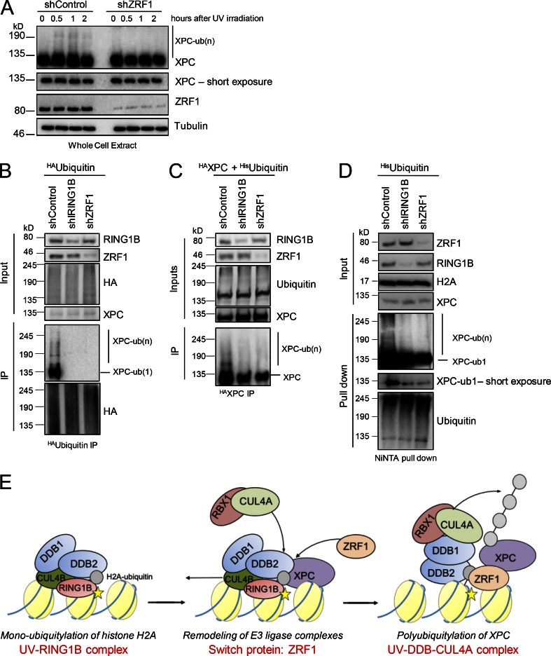 ZRF1 regulates XPC ubiquitylation. (A) ZRF1 facilitates XPC ubiquitylation after UV irradiation. Whole-cell extracts of control and ZRF1 knockdown HEK293T cells from the stated time points were subjected to Western blotting and probed with the indicated antibodies. (B) Role of RING1B and ZRF1 in XPC ubiquitylation. Control cells and RING1B and ZRF1 knockdown HEK293T cells expressing HA Ubiquitin were irradiated with UV light. After immunoprecipitation with HA-specific antibody, the precipitated material was subjected to Western blotting and blots were incubated with the indicated antibodies. Inputs correspond to 5%. (C) Control cells and RING1B and ZRF1 knockdown HEK293T cells expressing HA XPC and HIS Ubiquitin were irradiated with UV light. After immunoprecipitation with HA-specific antibody, the precipitated material was subjected to Western blotting and blots were incubated with the indicated antibodies. Inputs correspond to 5%. (D) Control cells and RING1B and ZRF1 knockdown HEK293T cells expressing HISUbiquitin were irradiated with UV and harvested 1 h after UV exposure. Ubiquitylated proteins were purified by NiNTA agarose under denaturing conditions, and Western blots of the purified material were incubated with the indicated antibodies. (E) The UV–RING1B complex and ZRF1 cooperate during NER. DNA lesions (yellow star) are recognized by the UV-RING1B complex (DDB1–DDB2–CUL4B–RING1B), which catalyzes ubiquitylation of histone H2A (gray sphere). ZRF1 is recruited to the lesion site by XPC and tethers to the H2A-ubiquitin mark. ZRF1 causes the assembly of the UV–DDB–CUL4A complex, which subsequently catalyzes ubiquitylation of XPC.