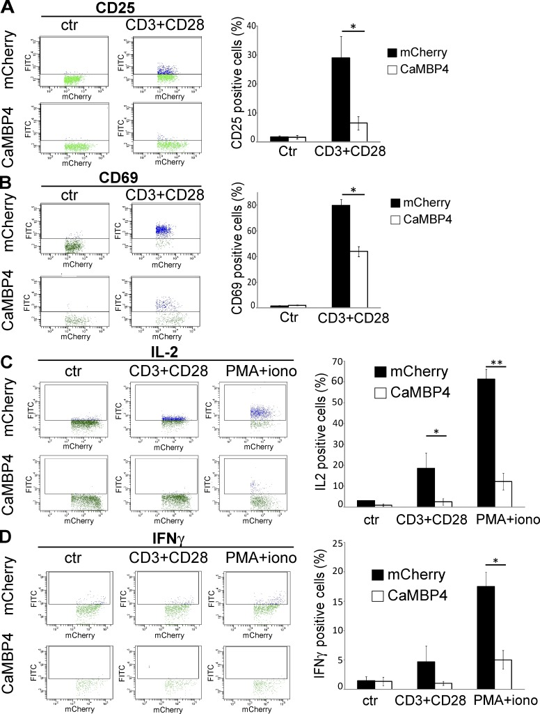 Nuclear calcium controls the expression of activation markers and cytokines in primary human T cells. T cells transfected with expression vectors for CaMBP4.mCherry (CaMBP4) or mCherry either were left unstimulated (ctr) or were stimulated with a combination of antibodies to CD3 and CD28 or with a combination of PMA and ionomycin. Expression of CD25 (A), CD69 (B), IL-2 (C), and IFNγ (D) in T cells was analyzed by flow cytometry with FITC-conjugated antibodies. Dot plots (left) are representative examples of three independent experiments; histograms (right) show the mean percentage of FITC-positive cells (blue dots) from three independent experiments. Error bars represent SEM. Statistically significant differences are indicated with asterisks (*, P