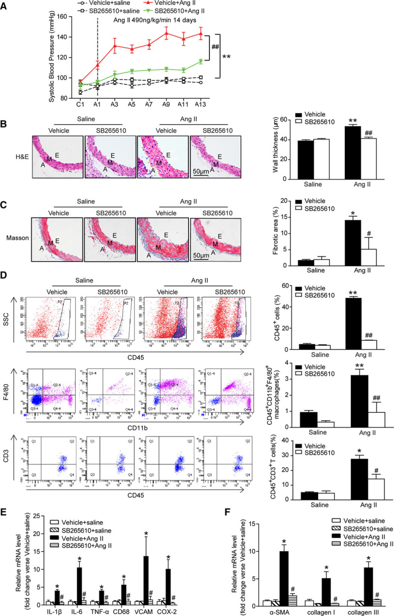 The CXCR2 inhibitor SB265610 alleviates hypertension, vascular inflammation, and fibrosis after angiotensin II infusion. A , Systolic blood pressure was measured by the noninvasive tail-cuff method in vehicle or SB265610-treated mice before ( C ) and after angiotensin II treatment (T, 490ng/kg/min). B , H E staining of thoracic aorta ( left ) and the wall thickness of each group were analyzed ( right ). Scale bar, 50 μm. C , Masson staining of thoracic aorta ( left ) and the percentage of fibrotic area were analyzed ( right ). Scale bar, 50 μm. D , Flow cytometry analysis of CD45 + cells, CD45 + CD11b + F4/80 + macrophages, and CD45 + CD3 + T cells in aortic lysates ( left ). The histograms indicate the percentage of gated cells ( right ). E , qPCR analysis of IL-1β, IL-6, TNF-α, CD68, VCAM-1, and COX-2 mRNA expression levels in the aorta. F , qPCR analysis of α-SMA, collagen I, and collagen III mRNA expression levels in the aorta. * P