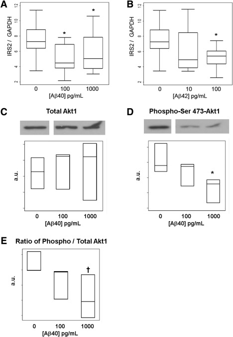 Alteration of the insulin receptor signaling pathway in adipocytes cultured with amyloid‐β. ( A ) Insulin receptor substrate‐2 ( IRS2 ) gene expression in differentiated adipocytes incubated for 6 days with 100 or 1,000 pg/mL amyloid‐β40 ( n = 10–11 per condition). ( B ) IRS2 transcription in cultures treated with amyloid‐β42 at 10 or 100 pg/mL for 6 days ( n = 10–11 per condition). Representative immunoblot and quantification of ( C ) total <t>Akt‐1</t> and ( D ), phosphor‐serine 473 Akt‐1 and ( E ) ratio of phospho/total Akt‐1 in adipocyte cultures grown at 5.5 mM glucose with 10 nM insulin with 100 pg/mL or 1,000 pg/mL amyloid‐β40; n = 3 per condition, log‐transformed data. * P