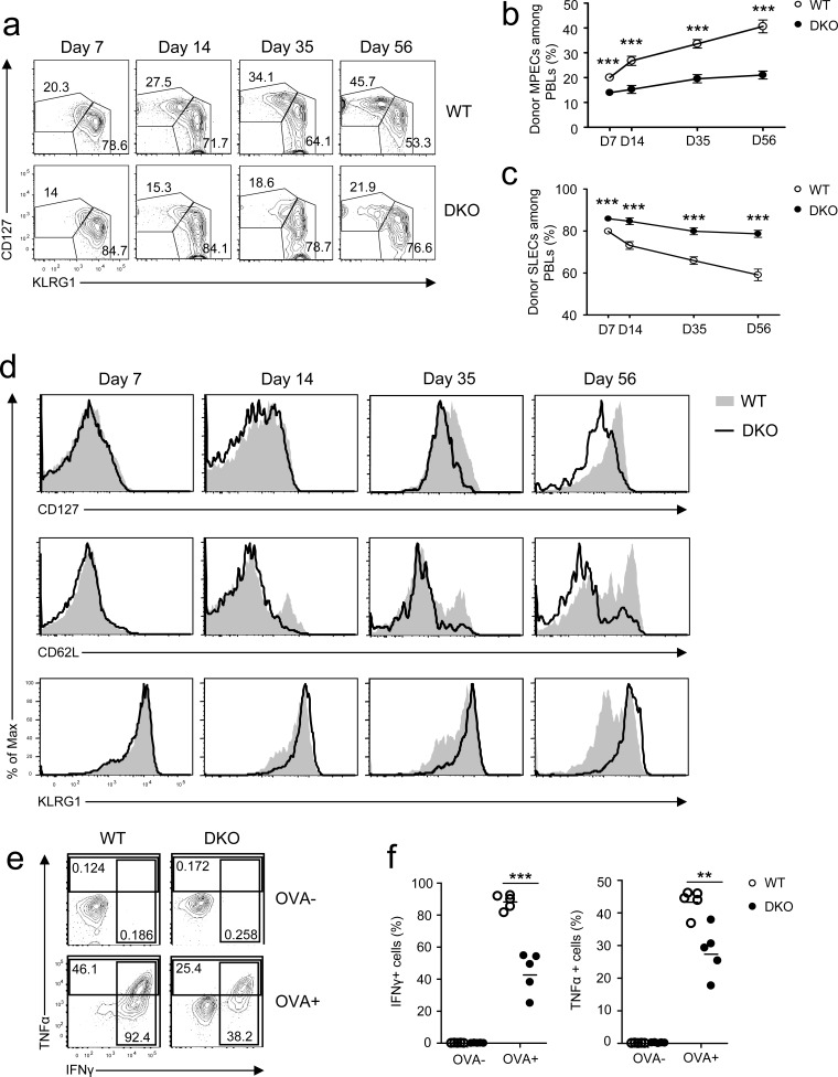 Effects of DGKαζ deficiency on CD8 effector/memory lineage differentiation and function Recipient mice injected with WT and DKO OT 1 T cells were similarly infected with LM-OVA and analyzed at the indicated times, as in Figure 1 . a. Representative dot plots showing CD127 and KLRG1 expression in gated donor-derived OT1 T cells from PBLs. b. - c. Percentages of MPECs b. and SLECs c. of donor OT1 T cells at different times. d. Expression of cell surface markers in gated donor-derived OT1 T cells. e. - f. Splenocytes from recipient mice 7 days after LM-OVA infection were left unstimulated or stimulated with SIINFEKL peptide (1μg/ml) in the presence of GolgiPlug for 5 hours. IFNγ and TNFα were detected by intracellular staining. e. Repesentative dot plot of IFNγ and TNFα staining in gated OT1 T cells. f. Percentages of IFNγ- or TNFα-expressing OT1 cells. Data shown in a. - d. and e. - f. are representative of three and two independent experiments, respectively. **, P