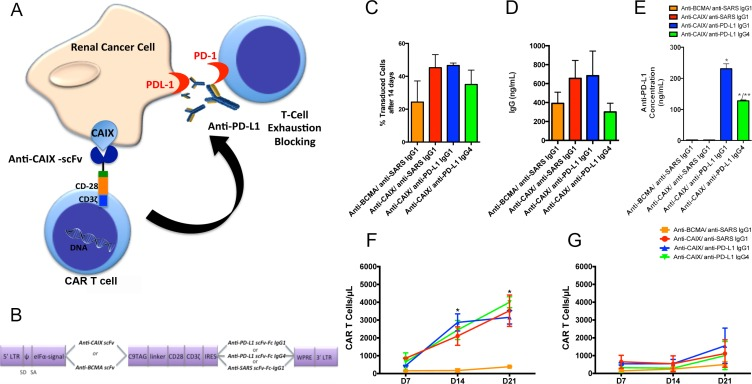Chimeric antigen receptors (CAR) constructs for CD8+ T cells transduction ( A ) T cells were transduced with the lentiviruses to generate anti-CAIX CAR T cells, which are able to recognize CAIX positive RCC, and also secrete anti-PD-L1 IgG1 or IgG4 in the tumor microenvironment to block PD-1/PD-L1-induced T cell exhaustion. ( B ) Schematic representation of pHAGE lentiviral vectors encoding second-generation CARs fused with CD28 co-stimulatory endodomain. The anti-carbonic anhydrase IX (CAIX) or the Anti-B-cell maturation antigen (BCMA) scFv (as a negative control) were inserted after the eIFa promoter in order to express the CAR binding domain. The second cassette, after the Internal Ribosome Entry Site (IRES) sequence, encodes the secretable anti-PD-L1 IgG1 or IgG4 isotypes or the anti-severe acute respiratory syndrome (SARS) coronavirus IgG1 (negative control). LTR: long terminal repeat, eIFα: eukaryotic initiation factor alpha, scFv: single-chain variable fragment, C9 TAG: C9 peptide TETSQVAPA, IRES: Internal Ribosome Entry Site, WPRE: Woodchuck Hepatitis Virus Posttranscriptional Regulatory Element. ( C ) Percentage of CAR T cells 14 days after transduction, representing the stable long-term expression of CAR by the integrated lentiviruses in CD8+ T cells. The CD8+ T cells were selected using Dynabeads CD8 Positive Isolation Kit (Life Technologies) and activated with Dynabeads Human T Cell Activator CD3/CD28 (Life Technologies) in the presence of IL-21 50 U/mL. IL-21 was added to the medium every 2 days. After 14 days, the CAR T cells were incubated with human CAIX-Fc or BCMA-Fc, followed by incubation with an APC conjugated anti-human Fc IgG (Southern Biotech) or goat-anti-mouse IgG Ab (Biolegend) and analyzed by flow cytometry. ( D ) Concentration of IgG secreted into the medium of transduced T cells evaluated by Human IgG ELISA Quantitation Set (Bethyl Laboratories). ( E ) Concentration of anti-PD-L1 antibodies in the supernatant of 293T Cells transduced wit