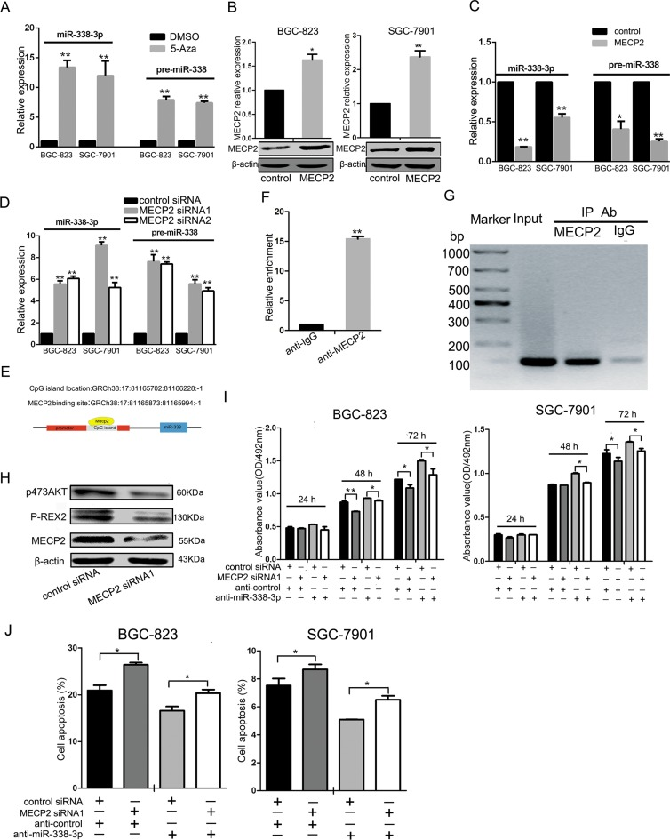 MECP2 inhibited miR-338 expression in gastric cancer cells ( A ) The BGC-823 and SGC-7901 cells were treated with 5-Azacytidine (5-Aza) (5 μmol), the equal volume of DMSO as control, expression of miR-338-3p and pre-miR-338 was measured by qRT-PCR. The expression of miR-338-3p and pre-miR-338 was normalized to U6 RNA. ( B ) qRT-PCR and western blot analysis of MECP2 protein and <t>mRNA</t> levels expression in BGC-823 and SGC-7901 cells were transfected with GV146 vector containing <t>cDNA</t> of MECP2 or control vector. ( C ) The miR-338-3p and pre-miR-338 expression was quantified by qRT-PCR in BGC-823 and SGC-7901 cells transfected with GV146 vector containing cDNA of MECP2 or control vector. ( D ) qRT-PCR analysis of the miR-338-3p and pre-miR-338 expression in BGC-823 and SGC-7901 cells following transfection with two MECP2 siRNAs or control siRNA. ( E ) Sketch of the putative CpG island locus and the MECP2 binding site in human miR-338 promoter. ( F ) ChIP assays were performed with control (rat IgG), anti-MECP2 antibody to determine MECP2 occupancy of miR-338 promoter. ( G ) qRT-PCR analysis was performed with primers spanning predicted CpG island of miR-338. ( H ) Western blot analyses of P-REX2 and phosphorylated AKT(Ser-473) in BGC-823 cells transfected with MECP2 siRNA1 or control siRNA. ( I ) MTT assay was performed to determine the growth of BGC-823 and SGC-7901 cells after cotransfected with MECP2 siRNA1 and inhibitor control or siRNA control and miR-338-3p inhibitor. ( J ) Early Cell apoptosis were detected by Annexin-V/propidium iodide combined labeling flow cytometry in BGC-823 and SGC-7901 cells 48 hours after transfection. Each data represented mean ± SD. * P