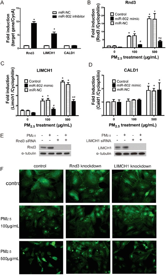 The regulation of miR-802 to Rnd2, LIMCH1, CALD1, and the associated cellular phenotype A. The expression of Rnd3 and LIMCH1 increased significantly after the transfection of miR-802 inhibitor. B. mRNA expression level of miR-802 target gene increased in A549 cells following PM 2.5 treatment; after miR-802 mimic transfection, expression of Rnd3 and C. LIMCH1 attenuated to control levels. D. The expression of CALD1 was not affected by miR-802 mimic. E. miR-802 target Rnd3 and LIMCH1 were knocked down in A549 cells, and their protein expression levels were not affected by PM 2.5 exposure. F. After knocking down of Rnd3 or LIMCH1 in A549 cells, actin organization was not regulated by PM 2.5 treatment. * P