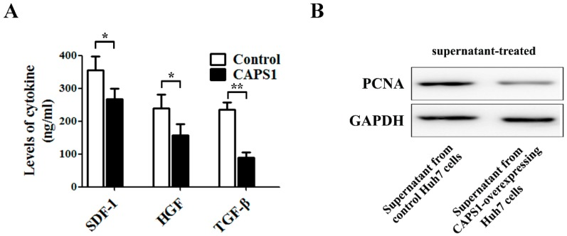 CAPS1 overexpression changed microenvironment in HCC cells. ( A ) The levels of stromal cell-derived factor 1 (SDF-1), hepatocyte growth factor (HGF), and transforming growth factor-beta (TGF-β) were determined by enzyme-linked immunosorbent assay (ELISA) in culture supernatant derived from Huh7 cells stably transfected with control vector or CAPS1; ( B ) Huh7 cells were treated with the culture supernatant from Huh7 cells stably transfected with control vector or CAPS1. Forty-eight hours later, the expression of proliferating cell nuclear antigen (PCNA), a marker of cellular proliferation, was detected by Western blotting. GAPDH: glyceraldehyde 3-phosphate dehydrogenase. * p