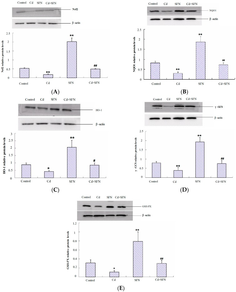 SFN pretreatment and cadmium-induced Nrf2/ARE (antioxidant response element) signaling in mouse testes. ( A ) Nuclear factor-erythroid 2-related factor 2 (Nrf2); ( B ) NAD(P)H:quinone oxidoreductase 1 (NQO1); ( C ) hemeoxygenase-1 <t>(HO-1);</t> ( D ) γ-glutamyl cysteine synthetase (γ-GCS); and ( E ) glutathione peroxidase (GSH-Px). Values represent mean ± SEM in each group of 10 mice; * p