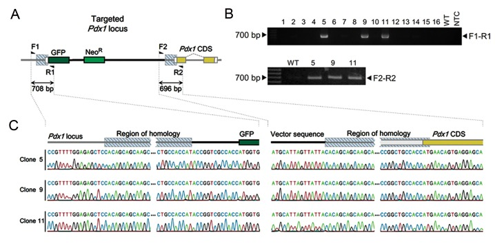 Generation of knock-in mouse ESCs by a single homology arm donor plasmid. A. Schematic presentation of targeted locus and genotyping primers, B. PCR genotyping of 16 ESC colonies transfected with the donor and Cas9n/sgPdx1 expressing plasmids, selected by G418 treatment. Three positive colonies for F1-R1 genotyping were tested by F2-R2 primers and C. Sequencing results for F1-R1 (left) and F2-R2 (right) PCR products from all three positive clones. ESCs; Embryonic stem cells and PCR; Polymerase chain reaction.