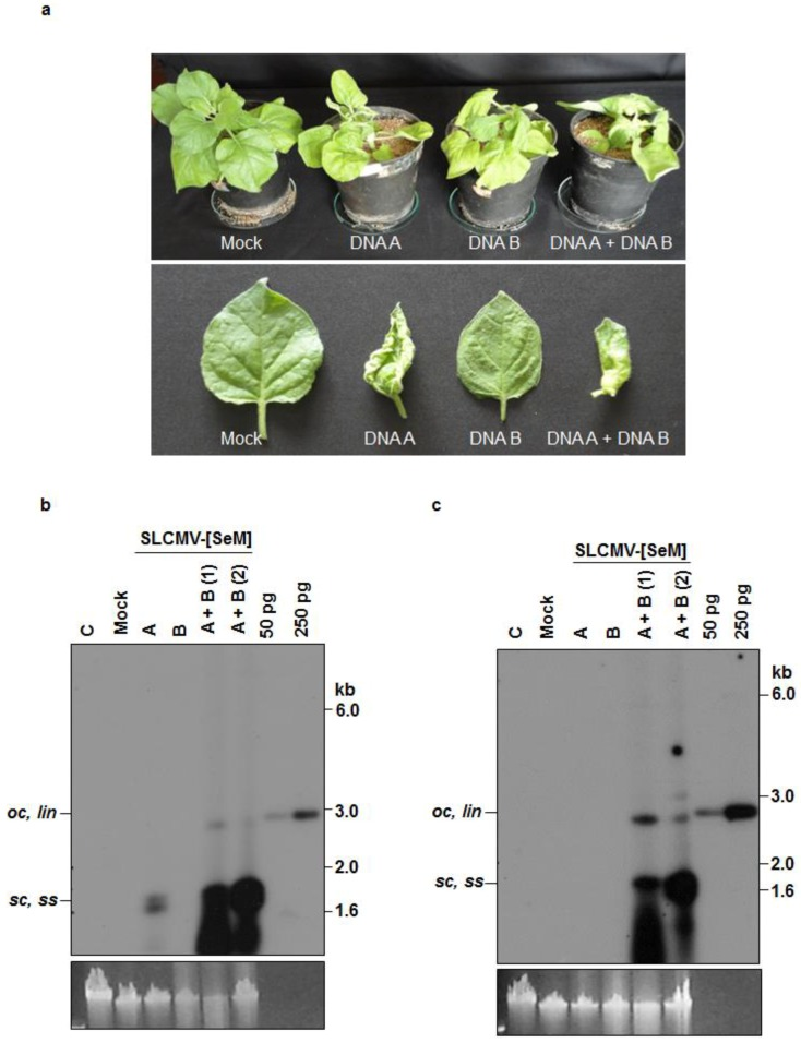 Infectivity analysis of SLCMV-[SeM] partial dimers in N. benthamiana plants. ( a ) Symptoms displayed by N. benthamiana plants agroinoculated with the SLCMV-[SeM] partial dimers. Bottom half shows individual leaves of the tested plants. ( b ) Southern blot analysis using SLCMV-[SeM] DNA A (without common region, ΔCR) labeled with [α- 32 <t>P]dCTP</t> as the probe. The plasmid pBS-SLCMV-Ma-A digested with PstI (50 pg and 250 pg) was used as the positive control. ( c ) Southern blot analysis using [α- 32 P]dCTP-labeled SLCMV-[SeM] DNA B (ΔCR) as the probe. The plasmid pBS-SLCMV-Ma-B digested with BamHI (50 pg and 250 pg) was used as the positive control. ( b , c ) DNA (1 μg) from uninfected plant (C), plant mock infected with the Agrobacterium tumefaciens strain Ach5 (Mock), plant agroinoculated with partial dimers of DNA A alone (A), DNA B alone (B) and two plants independently co-agroinoculated with the partial dimers of DNA A + DNA B (A + B) were loaded in the respective lanes. Positions of different forms of viral DNA, single stranded ( ss ), super-coiled ( sc ), open circular ( oc ) and linear ( lin ), are marked. Ethidium bromide stained high molecular weight plant DNA is shown as loading control at the bottom.