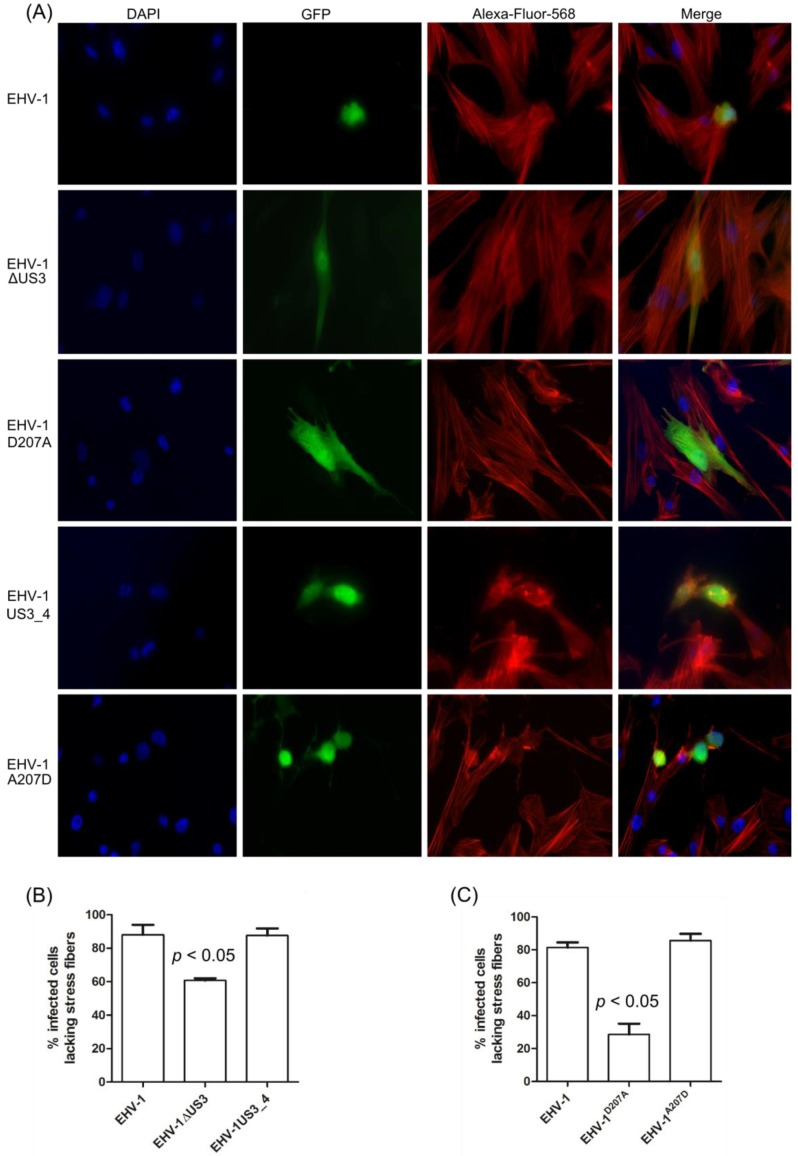 Rearrangement of actin cytoskeleton in infected ED cells. ( A ) ED cells were infected with parental, US3_1 -deleted, EHV-1 D207A , US3_4 -recombinant, or revertant viruses and imaged by immunofluorescence microscopy using a Zeiss Axiovert fluorescence microscope. Pictures were taken with a 63x oil objective. The nucleus was stained with 4′,6-diamidino-2-phenylindole (DAPI, blue ), the actin cytoskeleton was stained with phalloidin-Alexa 568 ( red ), and the virus-infected cells were visualized through enhanced GFP (eGFP) expression ( green ). ( B and C ) A total of 200 infected cells for each virus in three independent experiments were inspected and the percentage of infected cells with or without changes in actin cytoskeleton was calculated. A significant change in actin cytoskeleton rearrangement was detected for either EHV-1ΔUS3 or EHV-1 D207A when compared to parental, recombinant, or revertant viruses (one-way ANOVA; p