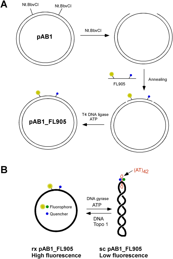 An experimental strategy to construct relaxed (rx) or supercoiled (sc) pAB1_FL905. ( A ) Oligomer FL905 that contains the 42 nt. AT sequence is ligated between the two Nt.BbvCI sites of plasmid pAB1 to yield rx pAB1_FL905. ( B ) Sc pAB1_FL905 can be generated through the treatment of rx pAB1_FL905 by E. coli DNA gyrase. The fluorescence intensity of fluorescein is dependent on the supercoiling status of pAB1_FL905.