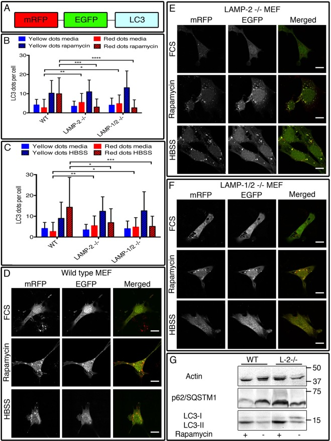 The autophagic flux is impaired in LAMP-2-single- and LAMP-1/2-double-deficient cells after autophagy induction. Cells were transfected with the tandem-fluorescent tagged mRFP–GFP–LC3 construct (A) and cultured in media (control), rapamycin (50 µm) (B) or HBSS (C) for 6 h. In wild-type MEFs, autophagy induction was characterized by an increased number of autophagosomes and autolysosomes (D) while in LAMP-2-single-deficient (E) and LAMP-1/2-double-deficient (F) cells the number of autolysosomes remained unchanged after treatment with rapamycin or HBSS. (G) Western blot analysis of total cell extract reveals an absence of degradation of p62 after rapamycin treatment confirming the blockage of the autophagic flux in LAMP-2-negative cells. Scale bars=10 µm. Data are expressed as mean±s.d. of three independent experiments. * P