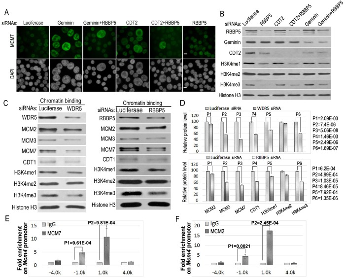 Inactivation of the MLL complex prevents the recruitment of MCM2-7 proteins onto chromatin. (A) HCT116 cells were transfected with 50 nM siRNAs of luciferase, Geminin, Geminin+RBBP5, CDT2, CDT2+RBBP5 and RBBP5. The cells were fixed and stained with anti-MCM7 and <t>FITC-conjugated</t> secondary antibodies and counter-stained with DAPI. Scale bars: 50 μm. (B) Proteins from the siRNA-treated cell lysates in A were analyzed by specific antibodies as indicated. (C) Downregulation of WDR5 or RBBP5 reduces the recruitment of MCM proteins to chromatin. Chromatin fractions were isolated from control and WDR5 or RBBP5 siRNA-treated cells and the chromatin-associated MCM proteins were examined by western blotting as indicated. (D) Relative protein levels of MCMs and methylated histone H3K4 on chromatin in C were quantified using Gel-Pro analyzer 4.0. The error bars indicate standard deviation of triplicated samples. The statistical differences of MCM2, MCM3, MCM7, CDT1 and histone H3K4 methylations between control and specific siRNA samples were analyzed using the two-tailed Student's t -test. (E,F) The chromatin immunoprecipitation (ChIP) analysis was performed to locate MCM7 (E) and MCM2 (F) proteins on the DNA replication origin at the Mcm4 gene. Proteins were cross-linked to chromatin and chromatin DNA was sonicated to generate 500-1000 base-pairs (bps) fragments in average length. The ChIP-grade anti-MCM7 and MCM2 antibodies were used for chromatin immunoprecipitation. Cross-linked DNA was released, purified, and analyzed for the enrichment of DNA fragments associated with MCM2 and MCM7 from −4.0 kb to 4.0 kb (kilobase pairs) along the Mcm4 region using various Mcm4 primers and quantitative real time PCR as described in the Materials and Methods. Error bars indicate the standard deviation of triplicated samples. The statistical significance of antibody-enriched specific Mcm4 DNA sequences over the background control <t>IgG</t> binding (fold enrichment) was assessed using