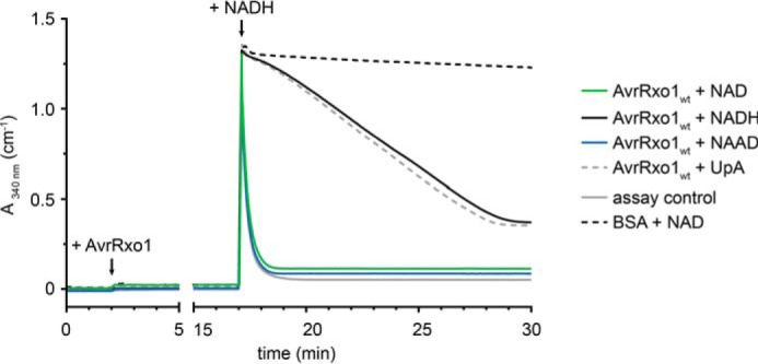 ADP formation by AvrRxo1 is stimulated by NAD and NAAD but not by the structurally similar dinucleotide UpA. A burst/chase experiment using the PK/LDH assay shows that conversion of ATP to ADP by AvrRxo1 is stimulated by NAD, NAAD, and NADH but not by the dinucleotide UpA. AvrRxo1 was added as indicated to a reaction mixture including PK, LDH, PEP, ATP, and a potential phosphate acceptor substrate or water. The reaction was incubated for 15 min to allow accumulation of pyruvate through ATP regeneration by PK from any newly formed ADP upon consumption of PEP. Subsequently, 200 μ m NADH were titrated into the setup, and the absorbance at 340 nm was measured. Traces of A 340 shown are of reactions in which the following compounds were present: H 2 O ( black ), NAD ( green ), NAAD ( blue ), UpA ( dotted gray ). The reaction setup with ATP, NAD, and no AvrRxo1 ( dotted black ) showed negligible activity. The maximum assay velocity was determined by incubation with 200 μ m ADP ( gray ) for 15 min prior to NADH addition.
