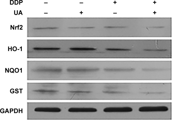 UA–cisplatin combination downregulates Nrf2 and its substrates. Notes: The protein expression levels of Nrf2, HO-1, NQO1, and GST of HepG2/DDP cells treated with 8.92 μg/mL cisplatin and/or UA (2.25 μg/mL) for 48 hours were detected by Western blot analysis. Results are representative of three different experiments, and they are expressed as mean ± SD. Abbreviations: GAPDH, glyceraldehyde-3-phosphate dehydrogenase; GST, glutathione S -transferase; HepG2/DDP, cisplatin-resistant hepatocellular carcinoma cell line; HO-1, heme oxygenase-1; NQO1, NAD(P)H quinone oxidoreductase 1; Nrf2, nuclear factor erythroid-2-related factor 2; SD, standard deviation; UA, ursolic acid.