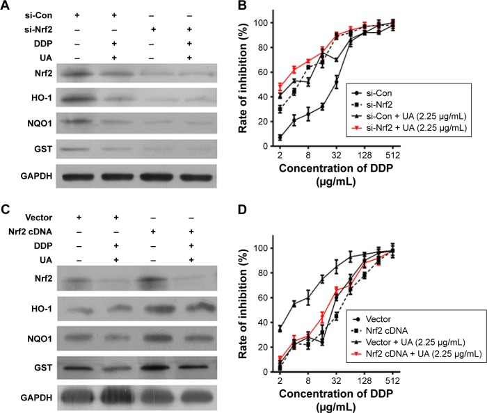 UA sensitizes HepG2/DDP cells to low-dose cisplatin via inhibition of Nrf2/ARE signaling pathway. Notes: ( A ) HepG2/DDP cells were transfected with Nrf2 siRNA (si-Nrf2) or negative control (si-Con), or ( C ) HepG2/DDP cells were transfected with Nrf2 cDNA or empty vector (Vector), then treated with 8.92 μg/mL cisplatin (IC 30 of cisplatin for HepG2/DDP cells) and/or UA (2.25 μg/mL) for 48 hours. The level of Nrf2, HO-1, NQO1, and GST was detected by Western blot analysis. ( B ) HepG2/DDP cells were transfected with si-Nrf2 or si-Con, or ( D ) HepG2/DDP cells were transfected with Nrf2 cDNA or empty vector (Vector), then treated with series concentration of cisplatin (2–512 μg/mL) and/or UA (2.25 μg/mL) for 48 hours. The inhibition rate of cell was detected by CCK8 assay. Results are representative of three different experiments, and they are expressed as mean ± SD. Abbreviations: ARE, antioxidant response element; CCK8, Cell Counting Kit 8; cDNA, complementary DNA; GAPDH, glyceraldehyde-3-phosphate dehydrogenase; GST, glutathione S -transferase; HepG2/DDP, cisplatin–resistant hepatocellular carcinoma cell line; HO-1, heme oxygenase-1; IC 30 , 30% inhibitory concentration; NQO1, NAD(P)H quinone oxidoreductase 1; Nrf2, nuclear factor erythroid-2-related factor 2; SD, standard deviation; siRNA, small interfering RNA; UA, ursolic acid.