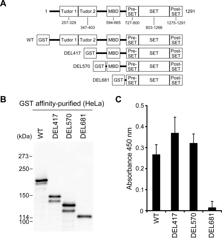 The PTMs of SETDB1 are associated with its H3K9 methyltransferase activity in HeLa cells. (A) Schematic representation of the domain structure of human SETDB1 and the deletion mutants. Amino acid sequence is numbered in accordance with the UniProt numbering scheme; the tandem Tudor domains, methyl-CpG-binding domain (MBD), pre-SET domain, SET domain, and post-SET domain are indicated. (B) SETDB1 proteins were expressed as GST fusion protein in HeLa cells and purified on glutathione-sepharose beads. The purified SETDB1 proteins were resolved on 5% SDS-PAGE, and electroblotted onto PVDF membrane. Western blot analysis of GST-SETDB1 proteins was probed with anti-GST antibody. (C) H3K9 methyltransferase activity of GST affinity-purified SETDB1 proteins in HeLa cells was measured. The values represent means±SEM (n = 3).
