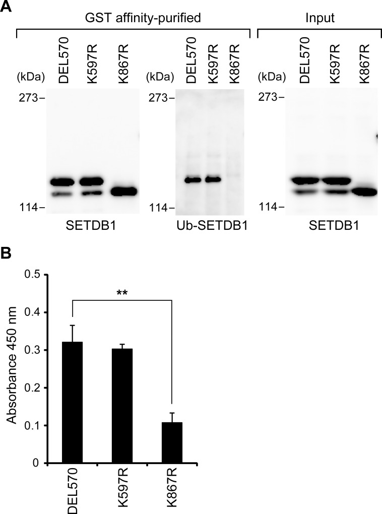 Ubiquitination of K867 of GST-SETDB1 (570–1291) upregulates its H3K9 methyltransferase activity in HeLa cells. (A) SETDB1 proteins were expressed as GST fusion proteins in HeLa cells and purified on glutathione-sepharose beads. The purified SETDB1 proteins were resolved on 5% SDS-PAGE, and electroblotted onto PVDF membranes. Western blot analyses of GST-SETDB1 proteins were probed with anti-SETDB1 antibody or anti-ubiquitin antibody. (B) H3K9 methyltransferase activity of the GST affinity-purified SETDB1 proteins in HeLa cells was measured. The values represent means±SEM (n = 3). ** P