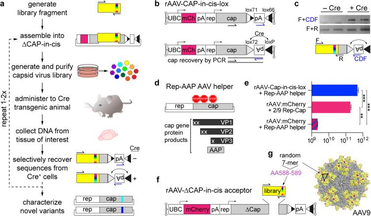 Cre-dependent recovery of AAV capsid sequences from transduced target cells ( a ) An overview of the CREATE selection process. PCR is used to introduce diversity (full visual spectrum vertical band) into a capsid gene fragment (yellow). The fragment is cloned into the rAAV genome harboring the remaining capsid gene (gray) and is used to generate a library of virus variants. The library is injected into Cre transgenic animals and PCR is used to selectively recover capsid sequences from Cre + cells. ( b ) The rAAV-Cap-in-cis-lox rAAV genome. Cre inverts the polyadenylation (pA) sequence flanked by the lox71 and lox66 sites. PCR primers (half arrows) are used to selectively amplify Cre-recombined sequences. ( c ) PCR products from Cre recombination-dependent (top) and -independent (bottom) amplification of capsid library sequences recovered from two Cre + or Cre − mice are shown. Schematics (bottom) show the PCR amplification strategies (see Supplementary Fig. 1 for details). ( d ) Schematic shows the AAV genes within the Rep-AAP AAV helper plasmid and the proteins encoded by the cap gene. Stop codons inserted in the cap gene eliminate VP1, VP2 and VP3 capsid protein expression. ( e ) DNase-resistant AAV vector genomes (vg) produced with the split AAV2/9 rep-AAP and rAAV-Cap-in-cis-lox genome (top) as compared to the vg produced with standard AAV2/9 rep-cap helper and rAAV-UBC-mCherry genome (middle) or with the AAV2/9 rep-AAP and rAAV-UBC-mCherry genome (bottom). N =3 independent trials per group; mean ± s.d.; ** p