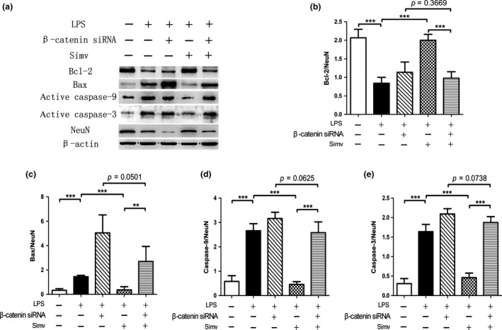 Inhibition of the Wnt/β‐catenin signaling pathway reduces the anti‐apoptotic effect of simvastatin in the primary spinal cord neurons. (a) Western blot was utilized to detect active caspase‐3, active <t>caspase‐9,</t> Bax, and Bcl‐2 protein expression in the five experimental groups. (b–e) Lipopolysaccharide ( LPS )‐induced apoptosis increased the expression of active caspase‐3, caspase‐9, and Bax. The expression patterns were more evident after silencing the β‐catenin gene with si RNA , whereas Simv treatment significantly reduced the expression patterns of pro‐apoptotic proteins while elevating Bcl‐2 expression. The effects of Simv were reversed after silencing the β‐catenin gene with si RNA . NeuN was used as the loading control. Simv, simvastatin; ** p