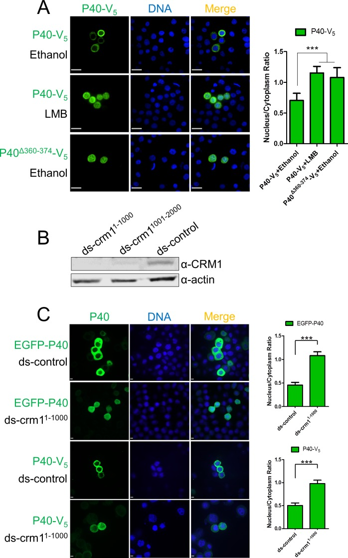 P40 cytoplasmic distribution is controlled by CRM1-dependent nuclear export. (A). P40 cytoplasmic distribution is CRM1-dependent. P40-V 5 or P40 Δ360-374 -V 5 was expressed in Sf9 cells. At 44 hpt, the carrier solvent ethanol (1 μl) or an equivalent amount of ethanol containing LMB (0.1 μg/ml) were added to the culture medium. At 48 hpt, the cells were fixed and subjected to immunofluorescence microscopy using anti-V 5 . Scale bar: 20 μm. (B). CRM1 knockdown assay. Sf9 cells were transfected with ds-crm1 1-1000 , ds-crm1 1001-2000 , and ds-control (control dsRNA, included in the <t>MEGAscript</t> <t>RNAi</t> kit). At 72 hpt, cells were harvested and subjected to Western blot assay using anti-CRM1. (C). The impact of CRM1 knockdown on P40 subcellular distribution. Sf9 cells were transfected with ds-crm1 1-1000 or ds-control. At 24 hpt, plasmids encoding EGFP-P40 and P40-V 5 were transfected to dsRNA-bearing cells. At 72 hpt, cells were fixed and subjected to fluorescence microscopy assay. Scale bar: 5 μm. Densitometry assays were performed simultaneously. The bars represent the means and standard errors of the means for three independent experiments. Each experiment involves the quantification of 30 transfected cells for each plasmid. ***, P