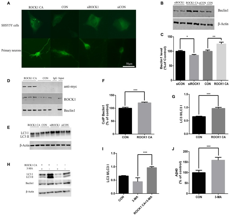 ROCK1 increases autophagy via an interaction with Beclin1. (A) Increased ROCK1 CA levels induced an increase in the intracellular autophagosome formation and accumulation. SH-SY5Y cells (upper panels) and primary neurons (lower panels) were co-transfected with ROCK1 CA plasmid and mCherry-GFP-LC3B adenovirus (pcDNA was used as a control). Fluorescence microscopy was used to detect the formation of GFP-LC3 puncta after 24 h post-transfection. (B) Expression of Beclin1 following ROCK1 knockdown and ROCK1 CA over-expression. (C) Quantification of Beclin1 following ROCK1 knockdown and ROCK1 CA over-expression. (D) HEK293 cells transfected with ROCK1 CA plasmid and pcDNA. Forty eight hours post-transfection co-immunoprecipitation (CoIP) was performed with cell lysates by using ROCK1 crosslinked agarose and then blotted with antibodies. (E) Representative immunoblot of LC3 II/LC3 I after ROCK1 CA over-expression and ROCK1 knockdown. (F) Quantification of CoIP Beclin1 levels. (G) Representative immunoblot of LC3 II/LC3 I after ROCK1 CA over-expression and ROCK1 knockdown. (H) Representative immunoblot of LC3 II/LC3 I after ROCK1 CA over-expression and ROCK1 knockdown. (I) ROCK1 CA plasmid transfection reverses 3-methyladenine (3-MA) induced autophagy inhibition. Representative immunoblot of LC3 II/LC3 I. (J) Increased Aβ40 secretion after 3-MA treatment (48 h) by ELISA. Data are presented as Mean ± SEM, students' t test, * p