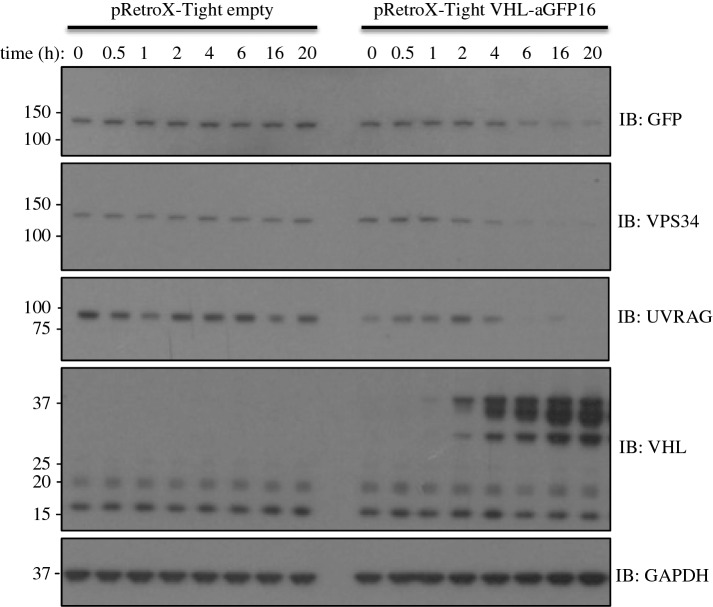 Adapting AdPROM for tetracycline-inducible degradation of target proteins: GFP-VPS34 knockin HEK293 cells were first infected with the pRetroX-Tet-ON advanced vector (Clontech) and selected for the expression of Tet-transactivator. Cells were then infected with either pRetroX-Tight empty vector control or pRetroX-Tight vector encoding VHL-aGFP16. Cells were then treated with 2 µg ml −1 doxycycline for the indicated time points prior to lysis. Extracts (20 µg protein) were resolved by SDS–PAGE, transferred to PVDF membranes and subjected to western blotting, using antibodies against GFP, VPS34, UVRAG and VHL, as indicated. Anti-GAPDH antibody was included as a loading control.