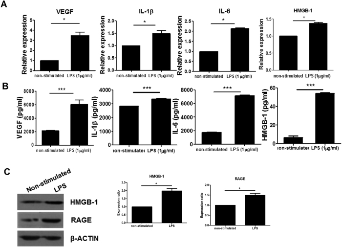 LPS-stimulated increase in the expression of proinflammatory factors in mesenchymal stem cells (MSCs). MSCs (2.5 × 10 5 ) remained non-stimulated or were stimulated with lipopolysaccharide (LPS; 1 μg/mL) for 2 days. ( A ) mRNA expression of vascular endothelial growth factor ( VEGF ), interleukin-1β ( IL-1β ), IL-6 , and high-mobility group box-1 ( HMGB-1 ) was determined using real-time PCR. Data represent the mean ± s.d. (bars) values of three independent experiments. ( B ) VEGF, IL-1β, IL-6, and HMGB-1 concentrations in culture supernatants were measured using ELISA. ( C ) SDS-PAGE of protein lysates was followed by western blot analysis for HMGB-1, receptor for advanced glycation end products (RAGE), and β-actin. * P