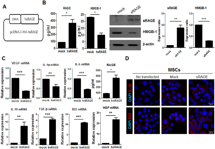 Reduced expression of proinflammatory factors in mesenchymal stem cells (MSCs) overexpressing the soluble receptor for advanced glycation end products(sRAGE). ( A ) Schematic representation of sRAGE DNA vector constructs. ( B ) MSCs were transfected with mock or sRAGE vector using the X-tremeGENE HP reagent for 3 days. RAGE and high-mobility group box-1 <t>(HMGB-1)</t> levels in MSCs and sRAGE-MSCs were measured by ELISA and western blotting. ( C ) Transcript levels of vascular endothelial growth factor ( VEGF ), interleukin-1β ( IL-1β ), IL-6 , HMGB-1 , IL-10 , transforming growth factor-β ( TGF-β ), indoleamine 2,3-dioxygenase ( IDO ), and hepatocyte growth factor ( HGF ) were determined using real-time PCR. Data represent the mean ± s.d. (bar) values from three independent experiments. * P