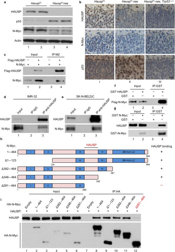 HAUSP affects and directly interacts with N-Myc both in vitro and in vivo ( a ) Western blot of mouse brains collected at day E13.5; n = 2. ( b ) Representative immunohistochemistry of HAUSP, N-Myc and p53 of E18.5 mouse cortex sections of the marginal zone to the cortical plate separated by a dotted black line; magnification 40 ×; scale bar 25 μm; n = 2 per group. ( c ) N-Myc expression vector cotransfected with Flag-HAUSP (lane 2) or empty vector (lane 1) in HEK293T cells. Cell lysates were incubated with Flag/M2 beads then subjected to western blot; 10% input; n = 3. ( d, e ) Endogenous immunoprecipitation of N-Myc with HAUSP from native IMR-32 ( d ) and SK-N-BE(2)C cells ( e ); 2% input; n = 3. ( f ) Direct interaction between purified Flag-N-Myc and GST-HAUSP. Purified N-Myc was incubated with GST protein (lane 1) or GST-HAUSP (lane 2) and immobilized with GST beads then subjected to western blot; 10% input; n = 2. ( g ) Direct interaction between purified Flag-HAUSP and GST-N-Myc as in Fig. 1f . Proteins were immobilized with GST beads then subjected to western blot; 1% input; n = 3. ( h ) Schematic representation of N-Myc deletion mutants used for domain mapping. ( i ) Indicated N-Myc expression vectors cotransfected with HAUSP in HEK293T cells. Lysates were incubated with HA beads then subjected to western blot; 10% input; n = 3.
