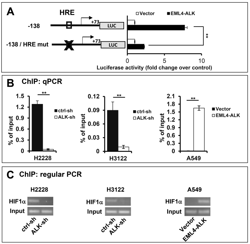 HIF1α is a key transcription factor upregulating HK2 expression in EML4-ALK-expressing lung cancer cells ( A ) The HK2 luciferase reporter pGL2-138HK2-Luc or the HRE mutant form was co-transfected into A549 cells along with pCDNA3.1/Zeo(+) (vector) or pCDNA3.1/Zeo(+)-EML4-ALK. The transactivation of the HK2 promoter by co-transfected ALK was measured by luciferase assays. The luciferase activities were presented as fold changes relative to the value of the vector control cells (defined as 1 fold). ChIP assay was performed to assess the binding of HIF1α to the HK2 promoter in ALK knockdown and control cells of H2228 and H3122 and in A549 cells transduced to express EML4-ALK. The HK2 promoter DNA sequence co-precipitated with HIF1α was analyzed by qPCR using <t>SYBR</t> Green ( B ) and regular <t>PCR</t> ( C ) using the primers listed in Table 1 . Fractions of immunoprecipitates and total cellular DNA were also analyzed with regular PCR amplification of the HK2 promoter..