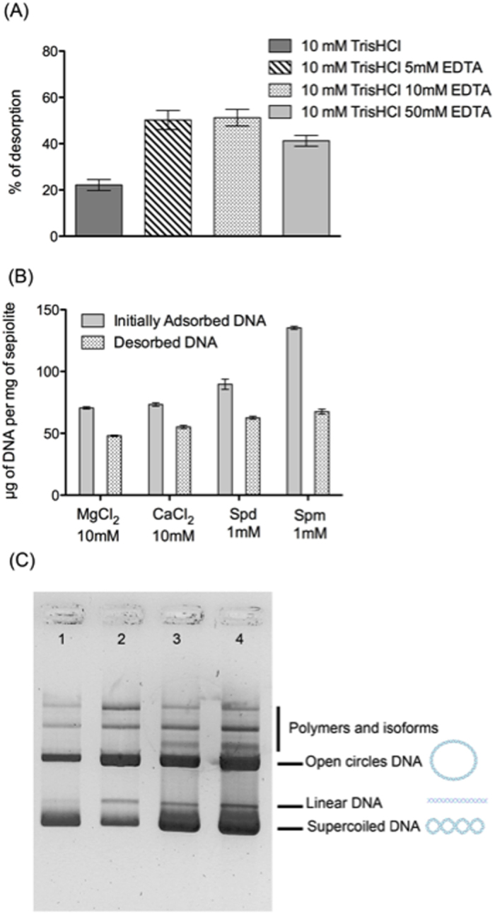 """( A ) Comparison of DNA desorption efficiency at different concentrations of EDTA. Reaction conditions: Initially, 0.5 ml of Sep/DNA samples were prepared using DNA at 640 ng·μl −1 in a sepiolite dispersion (1 mg/ml) in 10 mM Tris-HCl pH = 7.5 and 5 mM MgCl 2 . Resuspension in 0.1 ml solution of 10 mM Tris-HCl pH = 7.5, and EDTA at 5, 10 and 50 mM. After 15 min of incubation at room temperature, all samples were centrifuged at 5000 rpm for 5 min, and the supernatant was measured using the UV-vis. ( B ) Comparison of DNA desorption efficiency for Sep/DNA prepared in the presence of Mg 2+ , Ca 2+ , spermidine (Spd) or spermine (Spm). ( C ) Characterization with EMSA of desorbed DNA using the """"chelation"""" method. 1) plasmid (5.7 kbp) control; 2) plasmid DNA in the supernatant after synthesis of the bionanocomposite prepared with 5 mM MgCl 2 and before re- suspending the pellet in Tris-HCl pH = 7.5 and EDTA; 3) plasmid DNA desorbed from the bionanocomposite obtained with 5 mM MgCl 2 ; 4) plasmid DNA desorbed from bionanocomposite obtained with 5 mM CaCl 2 ."""