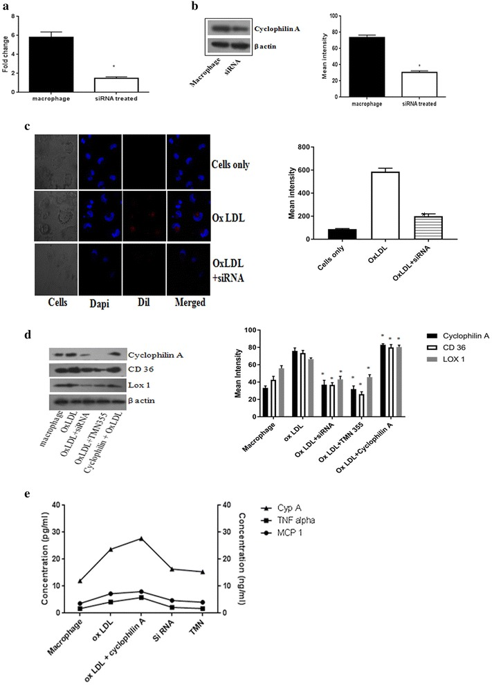 a Transfection efficiency was analyzed using real time PCR after treatment of THP differentiated macrophages with mission siRNA (7 pmol) for 48 h. b Immunoblotting image of cyclophilin A protein expression after treatment with mission siRNA to confirm transfection. β-actin was used as endogenous control. Protein densities of immunoreactive bands measured by the Quantity One 1D analysis software program. Data are presented as mean ± SD (n = 3) and asterisk represents p