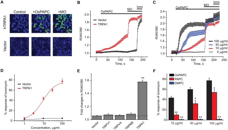OxPAPC specifically activates human TRPA1 (hTRPA1) channels expressed in HEK293 cells. (A) Representative images derived from Fura-2 ratiometric analysis showing [Ca 2+ ] i changes in HEK293 cells transfected with hTRPA1 cDNA or empty vector pCDNA3.1 in response to OxPAPC (10 μg/ml) and mustard oil (MO, 70 μM). (B) Averaged Ca 2+ responses from OxPAPC experiments in panel (A). At the end of the experiments, ionomycin (1.5 μM) was applied to activate all viable cells in the field. n > 40 cells/group. (C) Comparison of averaged Ca 2+ responses induced by 0, 10, 30 or 100 μg/ml OxPAPC. Imaging traces are overlaid for comparison. n > 40 cells/group. (D) Dose-response analysis of OxPAPC activation of calcium influx in hTRPA1 transfected cells with vector-transfected cells as controls. The responses of OxPAPC were normalized to those of ionomycin. EC 50 = 9.5 μg/ml. Each data point represents 5–6 separate tests. (E) Effects of OxPAPC (10 μg/ml) on hTRPA1 compared to human TRPV1, TRPV4, TRPM8 and empty vector in Ca 2+ imaging tests. The dotted line shows the basal level obtained from cells transfected with empty vector alone. (F) Comparison of the effects of different doses of OxPAPC, PAPC and DMPC on hTRPA1 by Ca 2+ imaging. Responses were normalized to ionomycin applied at the end of the tests. 10, 30 and 100 μg/ml of each lipid product were tested and compared. n = 6 tests/group. *p
