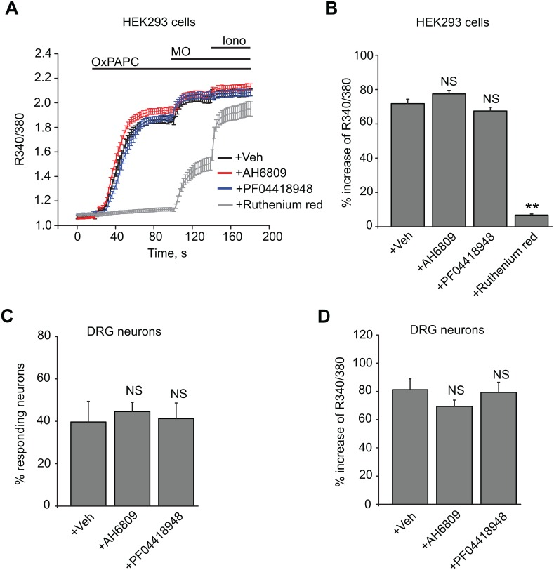OxPAPC-induced TRPA1 activation is independent of EP2 and DP receptors in both HEK293 cells and native DRG neurons. (A) Summary of OxPAPC-induced Ca 2+ responses in HEK293 cells expressing hTRPA1. Cells were first superfused with vehicle only (0.05% DMSO), AH6809 (10 μM), PF04418948 (20 nM) or ruthenium red (10 μM) for 5 min before recording started and then recorded in the continued presence of above treatments. Cells were challenged with OxPAPC (30 μM) and subsequently with mustard oil (MO, 70 μM) and ionomycin (1 μM). Responses of > 50 cells were averaged from each group. (B) Average peak amplitudes of OxPAPC-induced Ca 2+ responses in HEK293 cells as shown in (A). (C) Percentages of mouse DRG neurons responding to OxPAPC in vehicle only, or in the presence of AH6809 (10 μM) or PF04418948 (20 nM). Neurons were pretreated with the antagonists for 5 min before recording and recorded in the continued presence of the treatments. Cells were challenged with OxPAPC (10 μM) for 100 s and subsequently with KCl (40 mM) for 40 s. n = 5–8 tests/group, averages from 100–200 neurons per group. (D) Maximal Fura-2 emission ratio amplitudes of OxPAPC-induced Ca 2+ responses in mouse DRG neurons recorded in (C). **p