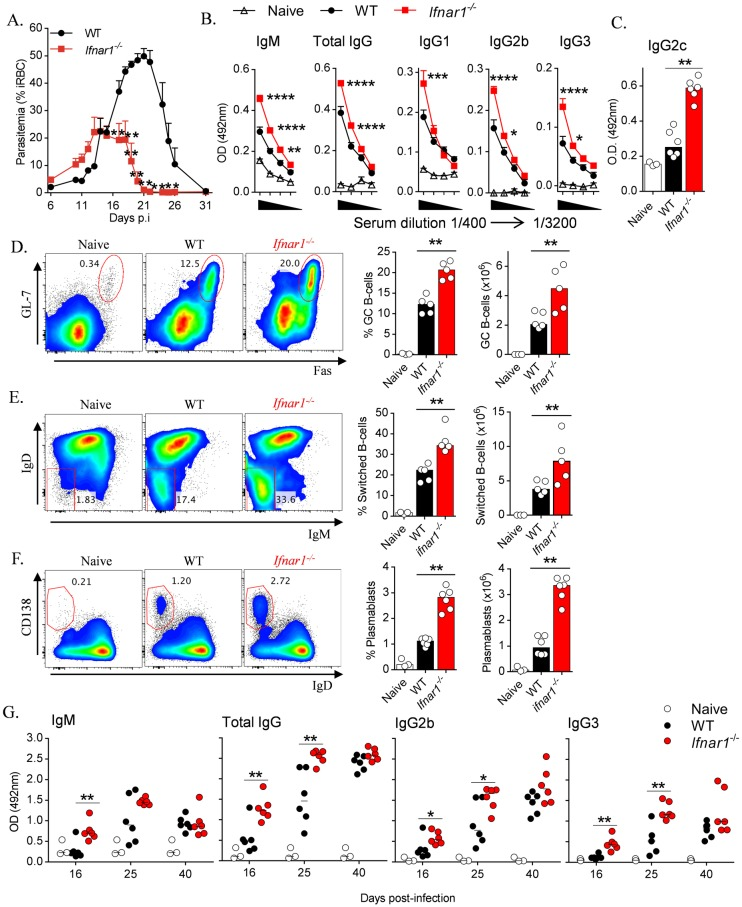 IFNAR1-signalling obstructs B-cell and parasite-specific antibody responses during blood-stage infection. (A) Time-course analysis of parasitemia in WT and Ifnar1 -/- mice (n = 5/group) infected with Py 17XNL. (B) ELISA quantitation of Py 17XNL-specific IgM, total IgG, IgG1, IgG2b, IgG3 in serum diluted from 1 in 400 in two-fold sequential dilutions to 1 in 3200, and (C) IgG2c at 1 in 400 in the sera of naïve and infected WT and Ifnar1 -/- mice, 16 days p . i . (D E) Representative FACS plots (gated on B220 + CD19 + live singlets), proportions and absolute numbers of (D) splenic GC B-cells (GL7 + Fas + ) and (E) Ig-class-switched B-cells (IgD lo IgM lo ) in naïve and infected WT and Ifnar1 -/- mice, 16 days p . i . (F) Representative FACS plots (gated on B220 + CD19 + live singlets), proportions and absolute numbers of splenic plasmablasts (IgD lo CD138 hi ) in naïve and infected WT and Ifnar1 -/- mice (n = 6), 6 days p . i . (G) Time course analysis of IgM, total IgG, IgG2b and IgG3 levels in naïve and infected WT and Ifnar1 -/- mice (n = 6). Statistics: Mann-Whitney U test (A C-G), Two way ANOVA and Tukey's test for multiple comparisons in (B), *P