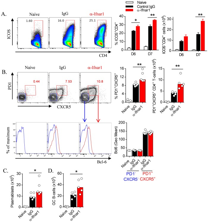 Antibody-mediated IFNAR1 blockade boosts humoral immune responses during blood-stage infection. WT mice (n = 5/group) were treated with anti-IFNAR1 blocking antibody (α-Ifnar1) or control IgG prior to and during infection with Pc AS. (A) Representative FACS plots (gated on CD4 + TCRβ + live singlets), proportions and absolute numbers of splenic ICOS + CD4 + T cells in naïve and infected mice on days 6 and 7 p . i . (B) Representative FACS plots (gated on CD4 + TCRβ + live singlets), proportions and numbers of splenic Tfh cells (as PD1 + CXCR5 + CD4 + T cells) in naïve and infected and antibody-treated mice, 7 days p . i . Bcl-6 expression is also shown in histograms for Tfh (PD1 + CXCR5 + ; red gate) and non-Tfh cells (PD1 - CXCR5 - ; blue gate), alongside Geometric Mean Bcl-6 expression by these populations in individual mice. (C and D) Numbers of splenic (C) plasmablasts and (D) GC B cells in naïve, and infected and treated mice, 7 days p . i . Data representative of 2 independent experiments. Mann-Whitney U test *P
