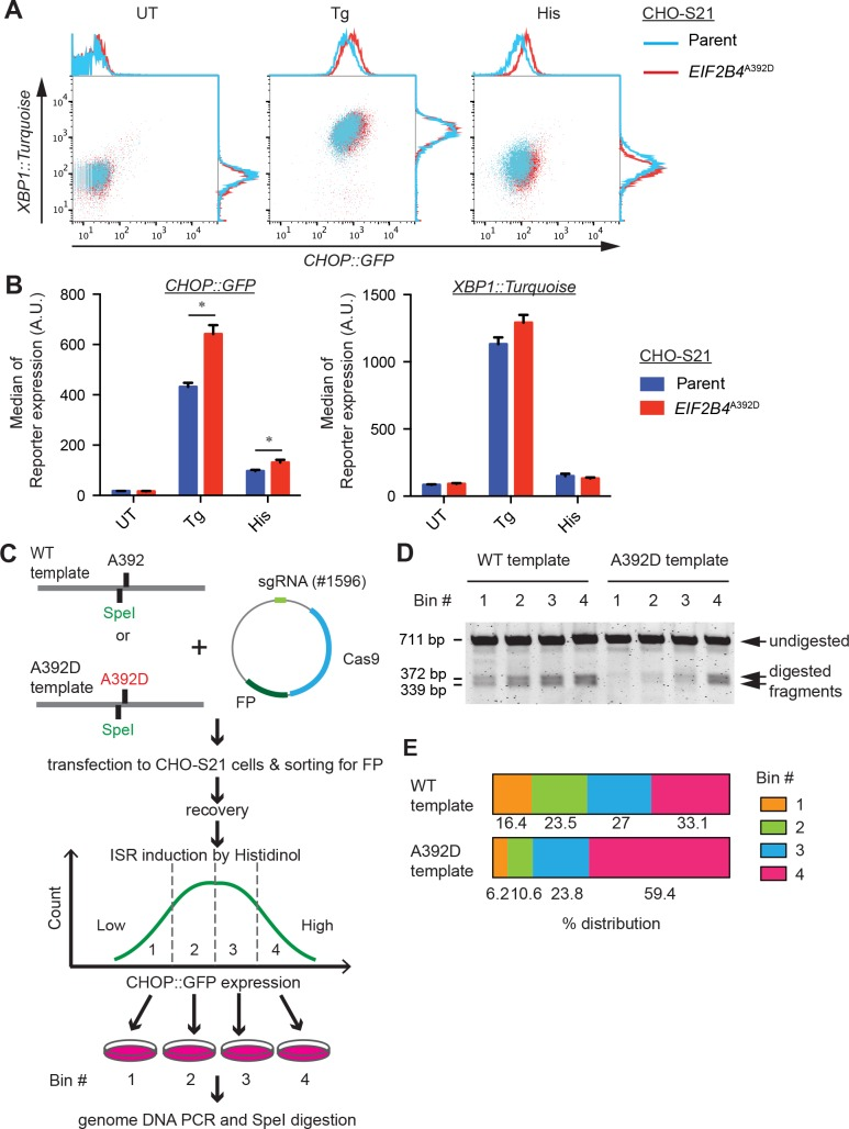 """Heightened ISR in EIF2B4 A392D cells. (A) Flow cytometry analysis of CHOP :: GFP and XBP1 :: Turquoise dual reporter-containing parental CHO-S21 and EIF2B4 A392D mutant cells. The cells were untreated (UT) or stimulated with 250 nM thapsigargin (Tg) or 0.5 mM histidinol (His) for 24 hours. Note the enhanced response of the CHOP :: GFP ISR reporter. (B) Bar diagram of the median ± S.D. of the reporter gene activity from experiments as shown in """"A"""". N = 3, *P = 0.0057 for Tg, *P = 0.037 for His, Unpaired t test. (C) Experimental design for tracking EIF2B4 A392D mutations. A fluorescent protein-marked sgRNA/Cas9 plasmid targeting EIF2B4 and a wildtype or EIF2B4 A392D mutant repair template marked by a silent Spe I mutation were co-transfected into CHO-S21 cells. Transfected cells (selected by FACS), were treated with histidinol and divided into four bins (Bin #1 to #4) by level of CHOP :: GFP expression. After recovery, genomic DNA was isolated from cells in each bin and the targeted region of EIF2B4 was amplified by PCR and digested with Spe I to reveal frequency of targeting by either repair template. (D) PCR fragments digested with Spe I from genomic DNA of the indicated bins, visualized on an agarose gel. Shown is an image of a representative experiment reproduced twice. (E) Plot of the distribution of Spe I digested fragments in the four bins of transduced cells from the experiment in """"D"""". The band intensities of the digested fragments (reporting on recombination of the wildtype or mutant repair template) were normalized to total PCR product intensity and the distribution of the relative frequency of recombination in the different bins was plotted. Note the enrichment for recombination of the EIF2B4 A392D mutant repair template in the ISR High bin."""