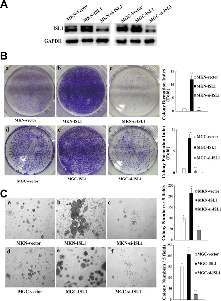 ISL1 promoted colony formation in vitro (A) Western blotting analysis of ISL1 levels in MKN28 and MGC803 cell lines with stable ISL1 overexpression (ISL1) or knockdown (si-ISL1) by transfection with pcDNA3.1-ISL1 and pLL3.7-ISL1-siRNA plasmids (cells transfected with pcDNA3.1 vector were used as the negative control), respectively. GAPDH levels served as the internal control. (B) PCF assay performed to determine the proliferation of MKN28 or MGC803 cells stably transfected with ISL1, si-ISL1, or the vector control (a–f). The quantification results are presented on the right. (C) SACF assay of MKN28 and MGC803 cells stably transfected with ISL1, si-ISL1, or vector (a–f). The quantification results are presented on the right. The data are the means ± SD from three independent experiments, each performed in triplicate. (** p